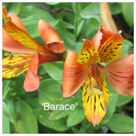 Alstroemeria 'Barace' (Alstroemeria)