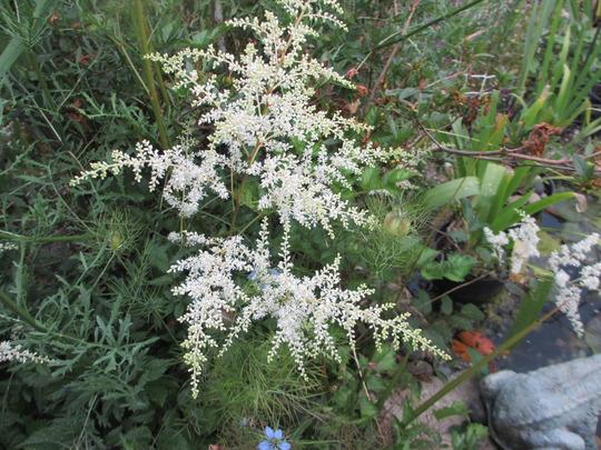 White Asilbe for Homebird (Astilbe)