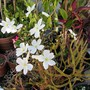 Drosera binata.Carniverous plant. (Drosera binata (Forked Sundew))