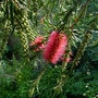 Callistemon_linearis_close_up_2107