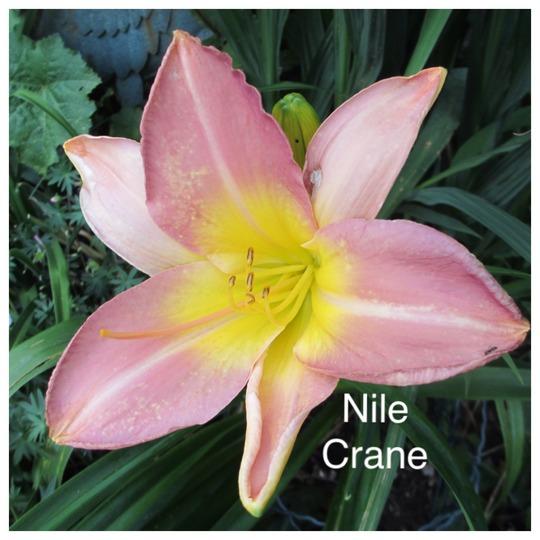 Hemerocallis 'Nile Crane' (For my File) (Hemerocallis)