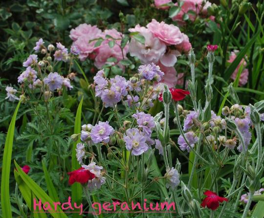 Rose and geranium... (Geranium pratense Summer Skies...)