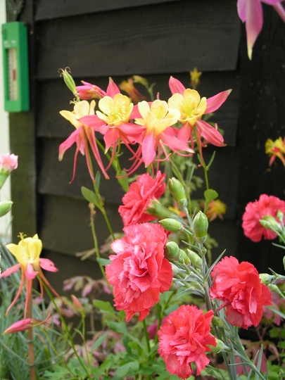 Dianthus 'Diane' with Aquilegia (Dianthus 'Diana')