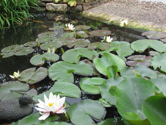 Loving the pond at the moment.. (Nymphaea alba (Nenufar Blanco))