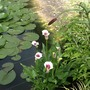 The pink spotty leaved arum In the side of the pond. (Arum)