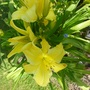 Hemerocallis (Daylily)  'Big Bird'