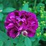 Rosa Tuscany Superb..