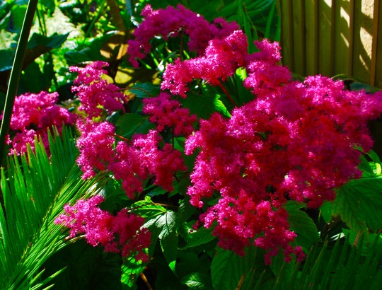 Filapendula rubra Venusta.... (Filipendula rubra (Queen of the prairies) Venusta..)