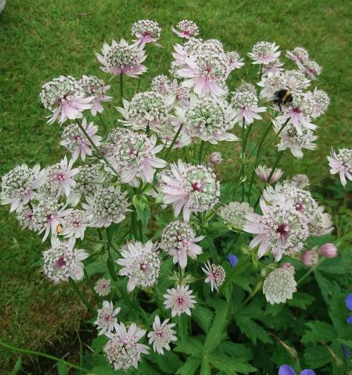 Astrantia (from seed)