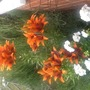 Lilies & Pelargoniums.