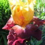 Bearded Iris True Spirit