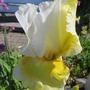 Bearded Iris Melted Butter (Iris germanica (Orris))