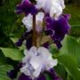 Iris Mother Earth