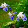 Mother Earth Iris