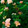 Rose Morden