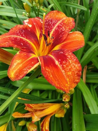 Hemerocalis (daylily)