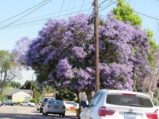Ay Caramba! a Jacaranda! (Jacaranda mimosifolia (Brazil Rosewood))
