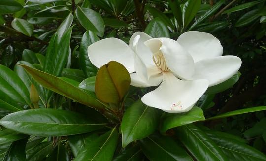Magnolia grandiflora 'Exmouth' - 2017 (Magnolia grandiflora 'Exmouth')