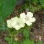 Dianthus knappii - 2017 (Dianthus knappii)