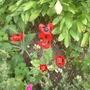 Papaver commutatum 'Lady Bird' (Papaver commutatum)