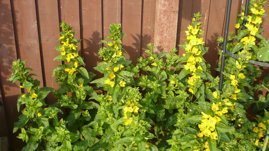 Lysimachia Punctata(Yellow Loosestrife) (Lysimachia punctata (Garden Loosestrife))