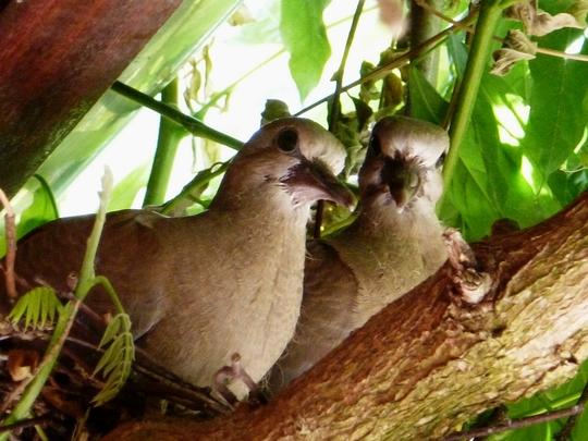 Doves ...  Double trouble