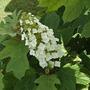 Hydrangea quercifolia 'Alice'  (Hydrangea quercifolia (Oak-leaved hydrangea))