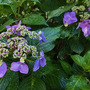 Hydrangea macrophylla 'Twist n shout'