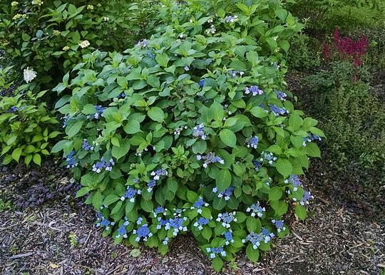 Hydrangea serrata 'Blue Billow' (Hydrangea serrata)