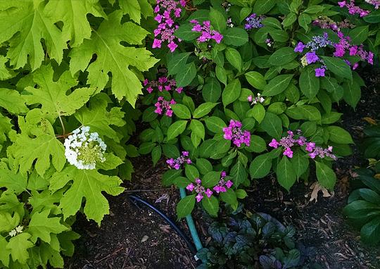 Hydrangea serrata 'Miyama-yae-murasaki' (Hydrangea serrata)