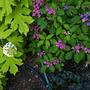 Hydrangeas_little_honey_purple_tiers