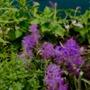 Fuzzy Hyacinth