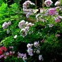 Shell Pink Rose shrub Hardy in Vermont