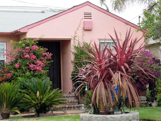 Electric Pink Cordyline. (Cordyline banksii)