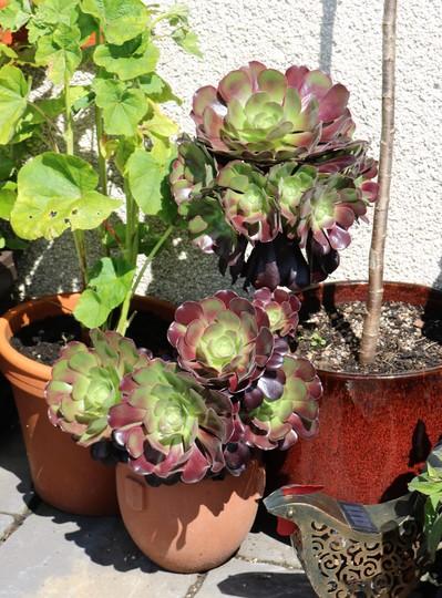 Aeonium arboreum 'Velours' (Aeonium arboreum)