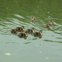 Ducklings seen yesterday.