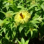 Inula_hookeri_and_butterfly_2017