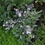 Hydrangea_macrophylla_tricolor_2017