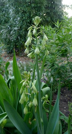 Galtonia viridiflora - 2017 (Galtonia viridiflora)