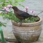 Young Blackbird waiting to eat.