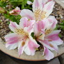 Alstroemeria Little Miss Sophie