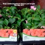 Busy_lizzies_impatiens_salmon_just_bought_19th_may_2017