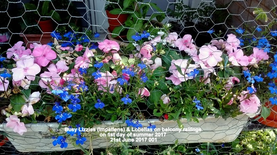 Busy Lizzies (Impatiens) & Lobelias on balcony railings on 1st day of summer 2017 21st June 2017 001