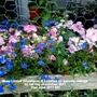 Busy_lizzies_impatiens_lobelias_on_balcony_railings_on_1st_day_of_summer_2017_21st_june_2017_001