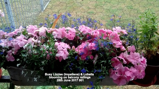 Busy Lizzies (Impatiens) & Lobelia blooming on balcony railings 28th June 2017 001
