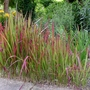 Imperata_cylindrica_red_baron_2017