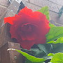 Begonia trailing