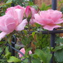 Climbing rose on Obelisk