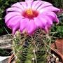 Flowering cactus ...... Thelocactus bicolor