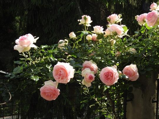 Eden roses; on my balcony.